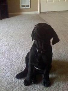 Labrador Retriever Pitbull Mix Puppies Photo - Happy Dog ...