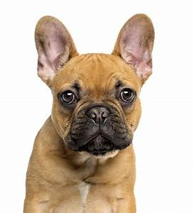 French Bulldog Dog Breed Information, Pictures ...
