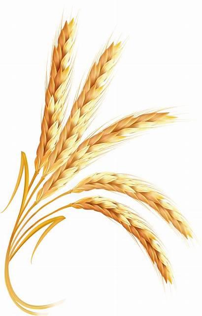 Wheat Clipart Transparent Grain Trigo Grains Cereal