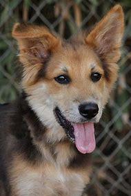 Border Collie German Shepherd Mix Puppies