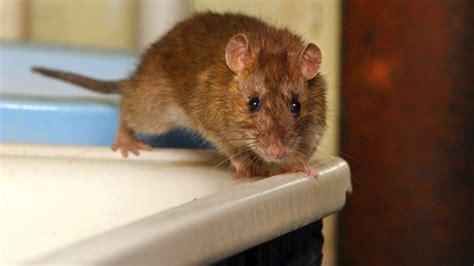 Rattenbekämpfung Mittel Gegen Ratten Im Überblick