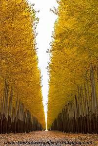 Poplar Trees On A Tree Farm Autumn