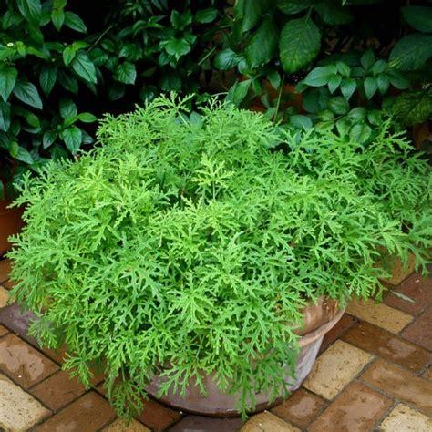 citronella plants for sale citronella mosquito plant for sale online the tree center