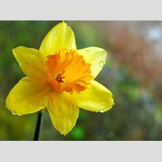 Y Daffodil Cyntaf  Ni Welwyd Un Eriod Mor Llon, Â'th Fantel… Flickr