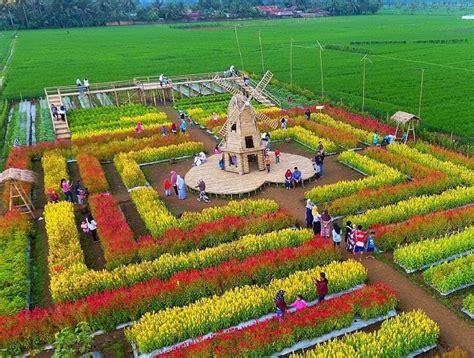 Kampung korea kadu engang pandeglang. Ketika Tanaman Pengendali Hama Jadi Objek Wisata Taman Bunga Celosia Banjarnegara