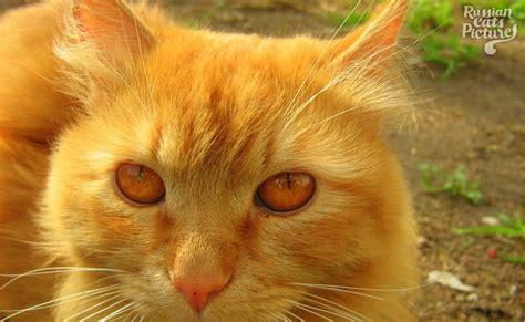 eyed mackerel tabby sad cat russian cats