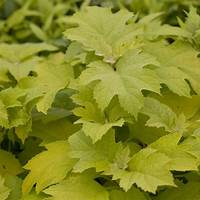 little honey hydrangea Little Honey Hydrangea | Spring Meadow - wholesale liners ...