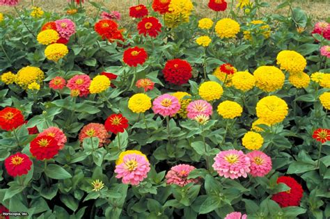 zinnia flowers hgtv