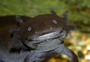 "White Wolf : Meet Axolotl (Ambystoma mexicanum) ""the ..."