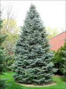 isu forestry extension tree identification white fir abies concolor