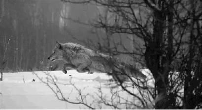 Grey Joep Wolf