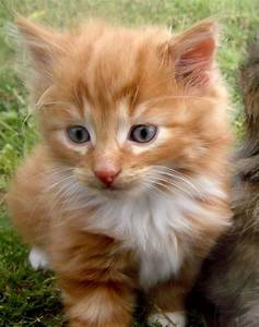 Ginger Tabby and White Tom Kitten | Colchester, Essex ...