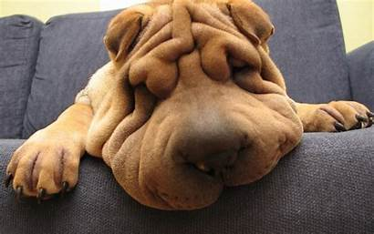 Funny Dog Wallpapers Shar Pei Backgrounds Animal