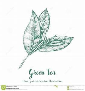 Green Tea Leaf Vector Illustration. Floral Branch Organic ...