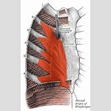 Intercostal Muscles Cadaver | 250 x 400 png 201kB