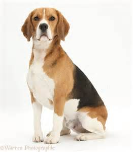 Beagle Dog Sitting