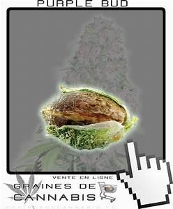 Comment Faire Germer Une Graine : graines de cannabis puissant et facile cultiver ~ Melissatoandfro.com Idées de Décoration