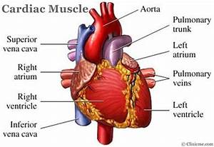 Anatomy Organ Pictures: Amazing Collection Cardiac Muscles ...