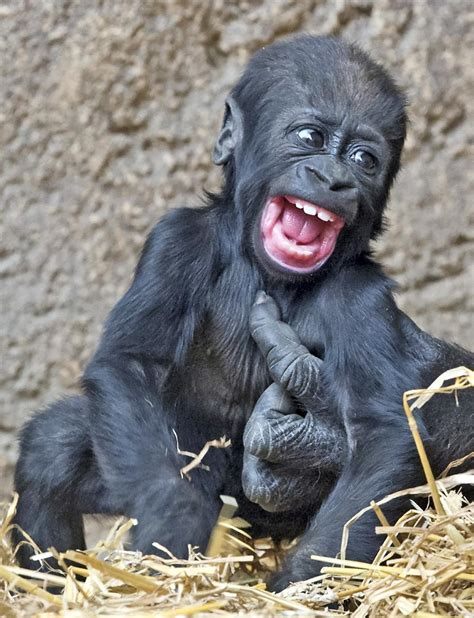 Poo On Carpet by Smiling Gorilla Photos Adorable Smiling Animals Ny