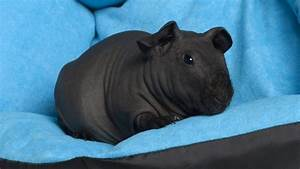 Skinny Pigs Care Guide  Information  Facts And More