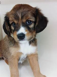 Cute photogenic Cavalier King Charles Spaniel mix puppy ...