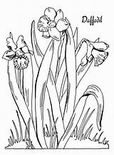 Daffodil Daffodils Narzisse Narciso Bestcoloringpagesforkids Editable Designlooter Thegraphicsfairy sketch template
