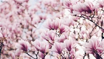 Desktop Magnolia Flower Spring Wallpapers Flowers Magnolien