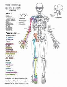 The Human Skeleton Coloring Page Learn Anatomy While Coloring  Click The Free Download Link