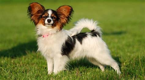 5 สุนัขพันธุ์เล็กยอดฮิตที่คนนิยมเลี้ยง