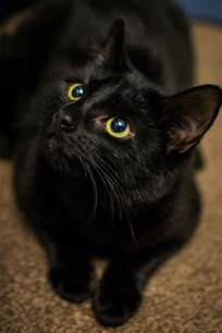 bombay cat bombay cat breed information pictures characteristics
