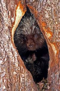 10 best Porcupine Quills images on Pinterest   Feather ...