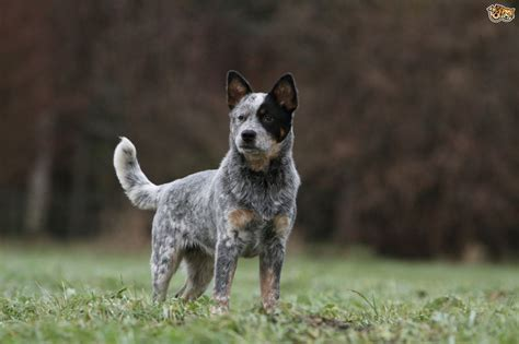Similarities And Differences Between The Border Collie And