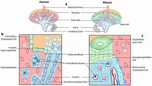 Schematic Diagram Of Mouse And Human Placenta Top Panel Is