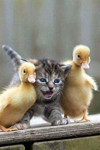 adorable kitten and ducklings | All the Animals | Pinterest