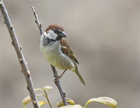 chipping sparrow life expectancy