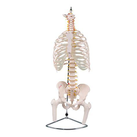 gabbia toracica modello anatomico colonna vertebrale con gabbia toracica