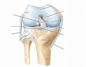 Knee Anatomy Labeled