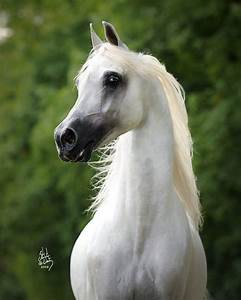 Beautiful Arabian horse with proud held head and gorgeous ...