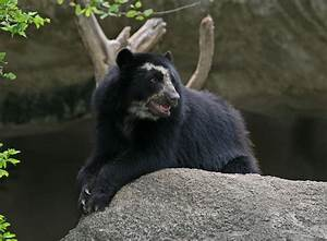 Spectacled Bear   The Biggest Animals Kingdom