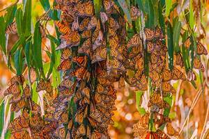 Avocados Vs. Butterflies   A Moment of Science - Indiana ...
