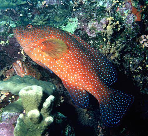 grouper coral fish wikipedia hind petguide saltwater groupers aquarium