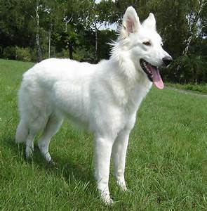 White Shepherd - Wikipedia