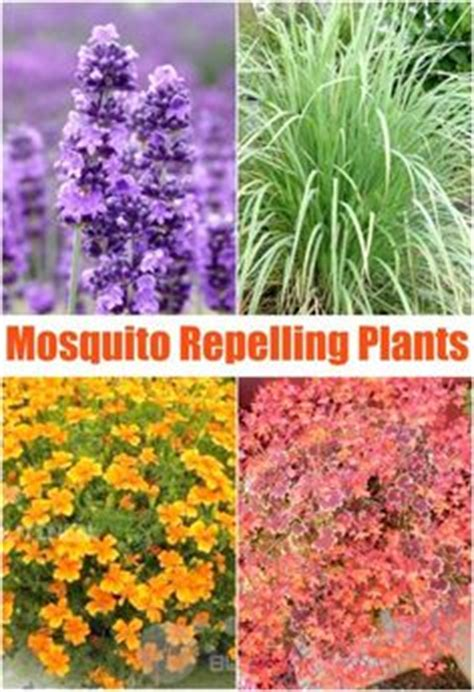 pest repellent plants firepower dwarf nandina heavenly bamboo plants 1 gallon dwarf bamboo plants and plants