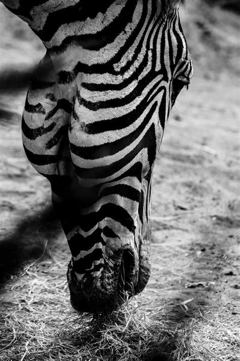 black  white zebra  stock photo