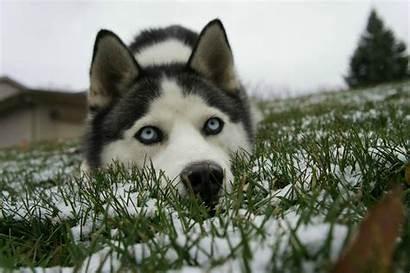 Husky Siberian Wallpapers Huskies Desktop Background Backgrounds