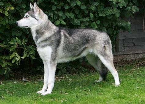 dogs    wolves digi hang