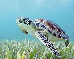 Hawaii Green Sea Turtle Chelonia Mydas An Endangered