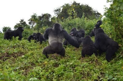 largest mountain gorillas groups  ongoing