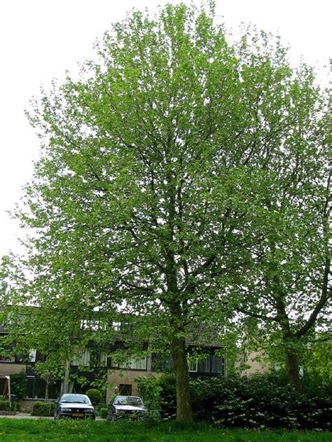 plataan familie planetree platanus bomen herkennen op deze