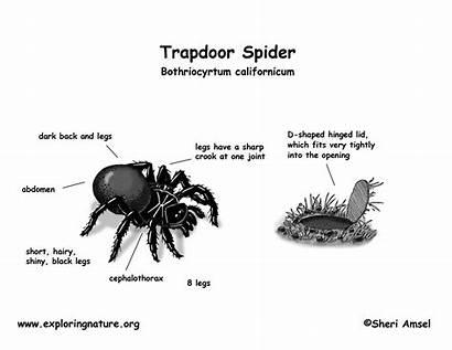 Spider Trapdoor Diagram Classification Kingdom Hi Res